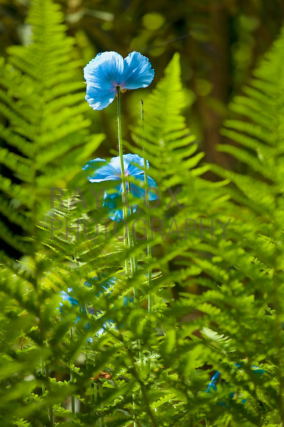 Meconopsis among ferns