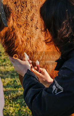 Veterinary taking blood samples from pony in Northamptonshire