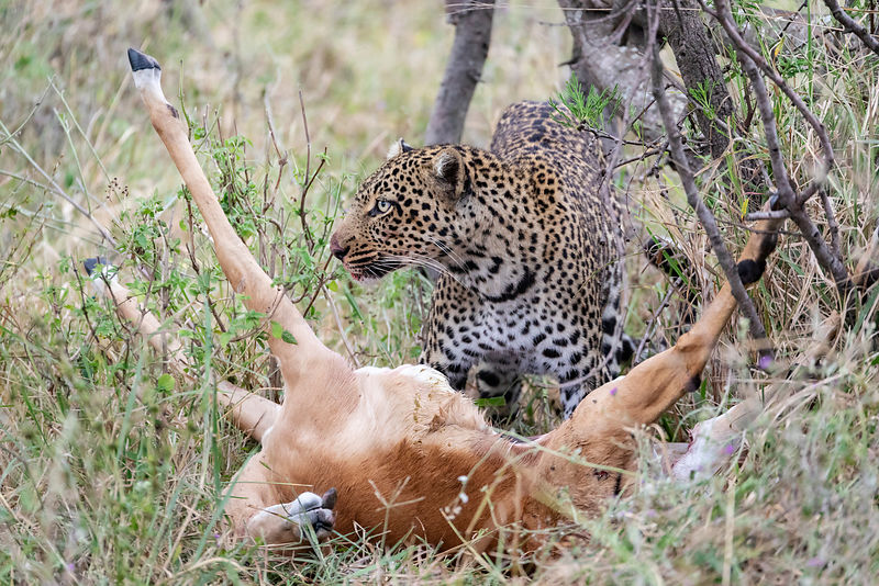 Female Leopard with an Impala Kill