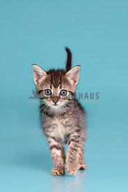 A young tabby kitten on a blue background