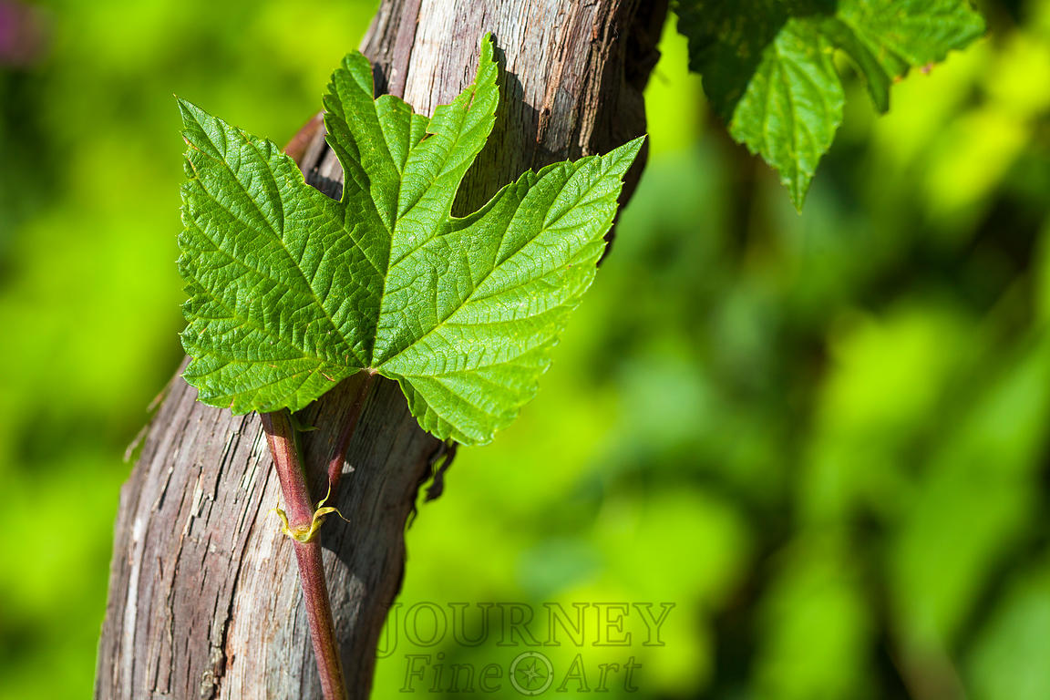 Grape Leaf & Vine