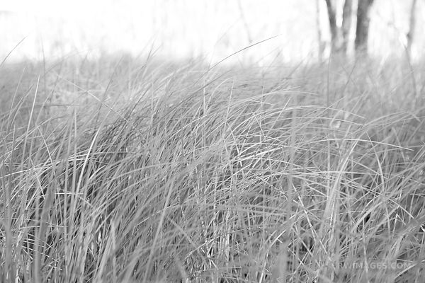 TALL GRASSES SIEUR DE MONTS JESUP PATH ACADIA NATIONAL PARK MAINE BLACK AND WHITE