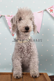bedlington terrier in pearl necklace with blue polka dot backdrop