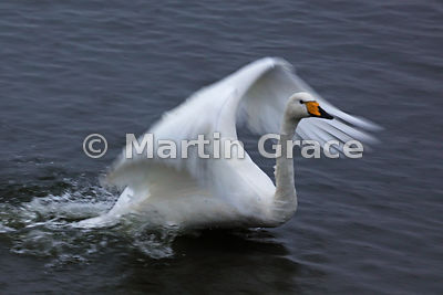 Deliberately blurred, slow shutter speed image of a Whooper Swan (Cygnus cygnus) flapping its wings, Dumfries & Galloway, Sco...