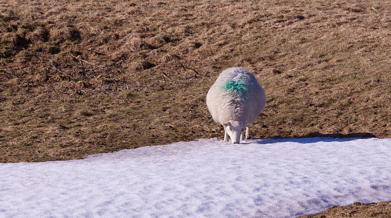 Sheep eating snow on the moors