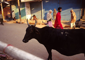 A cow wanders through the streets of Varanasi