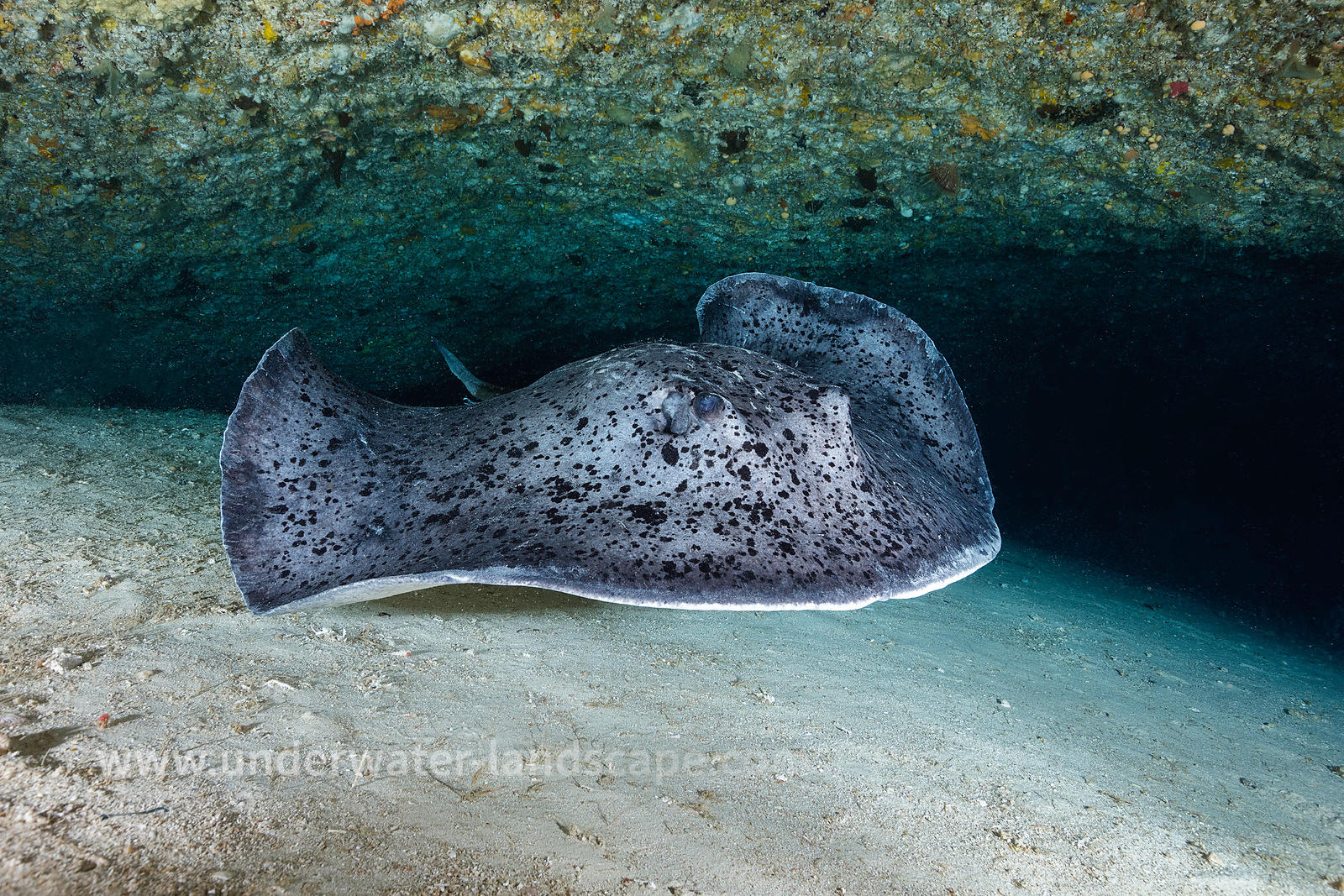 Face to face with a Blotched fantail ray