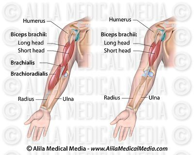 Flexors muscles of the elbow.