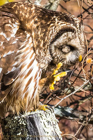 Barred Owl Preening