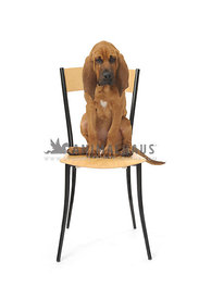 Bloodhound puppy sitting on chair pouting against white background
