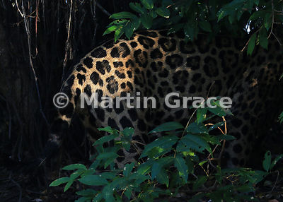 A shaft of sunlight illuminates part of a male Jaguar (Panthera onca) known as Marley, River Cuiabá, Northern Pantanal, Mato...