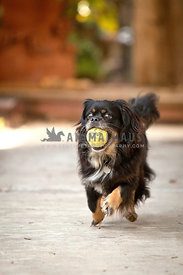 Spaniel-Dog-Running-With-Ball-In-Mouth