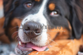 very close up of bernese mountain dog's nose