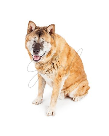 Happy Blind Akita Dog