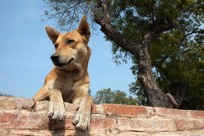 A stray dog sits on a wall at the Sarnath archaelogical site, India.