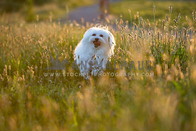 white dog running through field