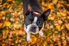 boston terrier portrait in autumn