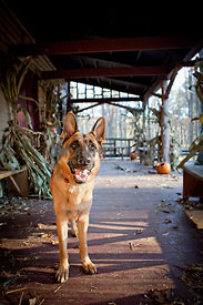 german shepherd on front porch with pumpkins and corn stalk on Halloween