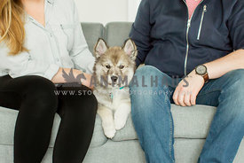 Husky puppy laying on sofa between man  and woman dressed casual