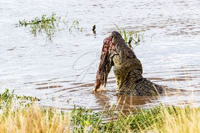 Crocodile Eating Zebra in Africa