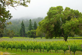 Vineyards and Oaks, Anderson Valley #2