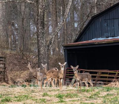 Gang_of_Five_deer-0367_March_29_2019_