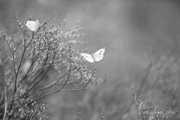 BUTTERFLIES SUMMER MEADOW NAUSET MARSH TRAIL NATURE CAPE COD NATIONAL SEASHORE BLACK AND WHITE