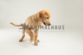 golden retriever puppy ready to pounce playing in the studio