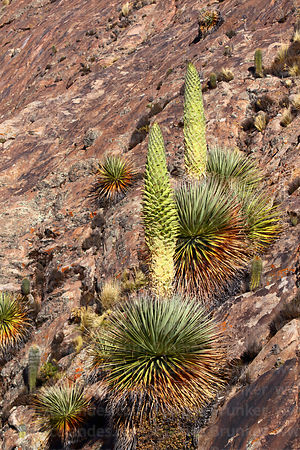 Puya raimondii with nearly full grown flower spike growing on rocky slab, Comanche, Bolivia