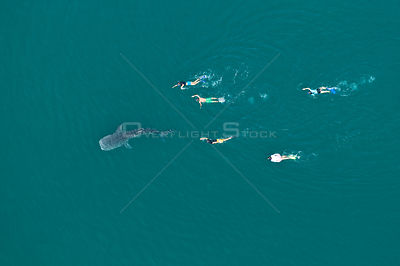 Whale shark (Rhincodon typus) aerial view of juvenile with five people swimming / snorkelling behind, La Paz Bay, Sea of Cort...