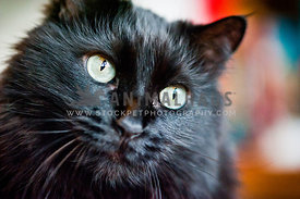 Close up of black cat