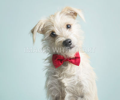 White terrier wearing a red bow tie