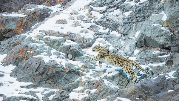 Snow Leopard (Panthera uncia) climbing up mountain slope, Hemis National Park, India, February.