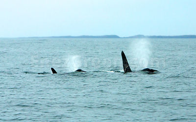 Orcas in the Minch Scotland