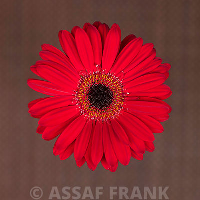 Close-up of red Gerbera daisy on patterned background