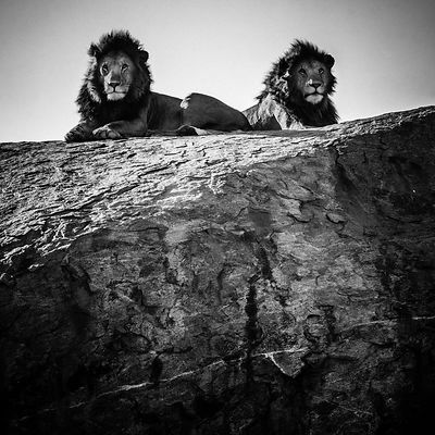 02763-Two_lion_brothers_on_a_rock_1_Tanzania_2018_Laurent_Baheux