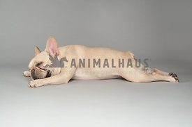 fawn color french bulldog sleeping stretched out on a gray background