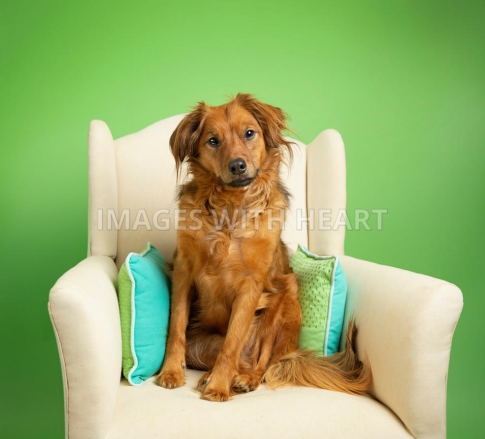 Dog_sitting_in_white_chair_with_green_background