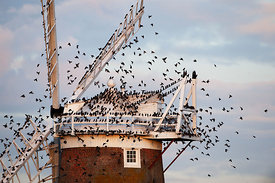 Starlings Sturnus vulgarus arriving at roost on Cley Windmill Cley Norfolk Ocotober