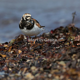 Female or first-summer male Ruddy Turnstone (Arenaria interpres) foraging on the shoreline at Bigton Wick, Mainland South, Sh...