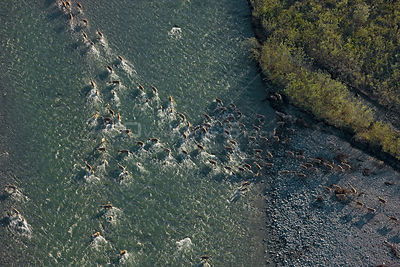 Aerial view of Caribou (Rangifer tarandus) herd crossing a river during summer migration, Arctic National Wildlife Refuge, Al...