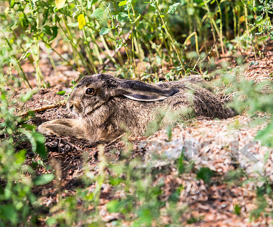 Young Brown Hare resting