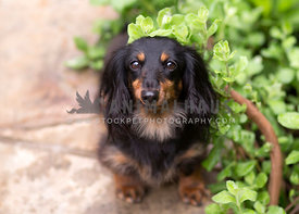 Long hair doxie nestled in greenary at garden outside