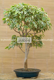 Collection Jean-Louis Mandolin, Bonsai, Bonsai Houseplant, Digital, Indoor Bonsai
