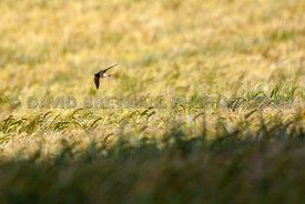 Swallow Over Barley Field, Flag Lane North, Upton