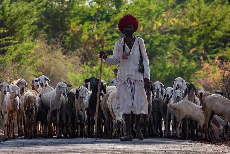 Rabari Shepherd with his Sheep and Goats