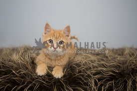 orange cat on brown and gold fur