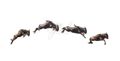 Series of Isolated Leaping Wildebeest