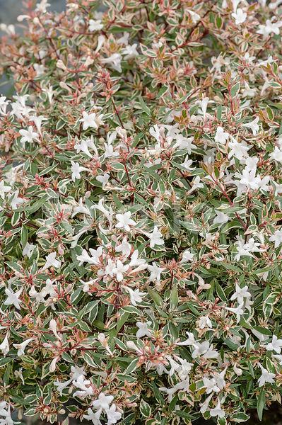 Photo De Abelia X Grandiflora Conti Confetti Fotoflor Grand