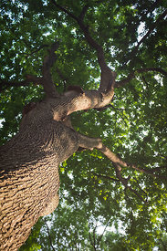 Arbre vue de dessous au Washington Square Park, New York, USA / Tree seen from below at Washington Square Park, New York, USA